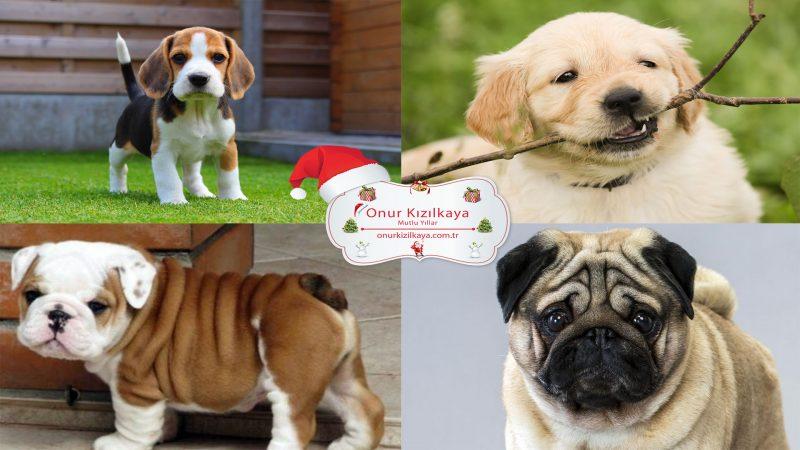 Evde Besleyebileceğiniz 6 Köpek Cinsi
